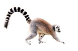 Fototapeta Zwierzęta - walking lemur isolated on white with clipping path