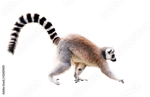 Photo sur Aluminium Singe walking lemur isolated on white with clipping path