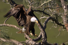 Bald Eagle Landing At Nest