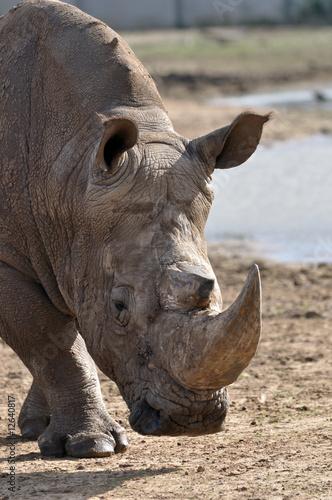 Garden Poster Rhino rhinoceros getting closer