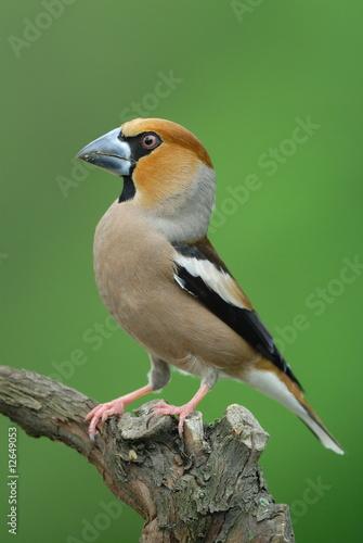 Hawfinch portrait Fototapet