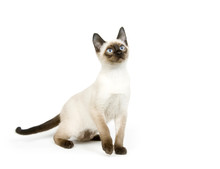 Siamese Kitten Sitting On A Wh...