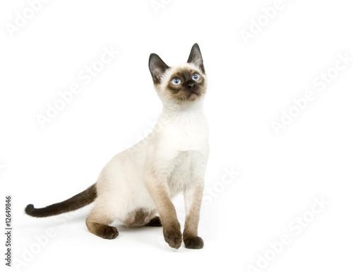 Fotografía  Siamese kitten sitting on a white background