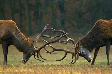 Borba jelena