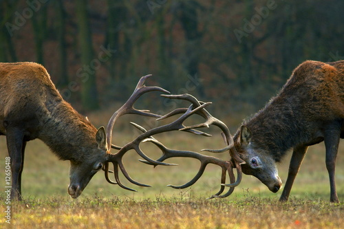 Foto op Canvas Hert Red deer fight