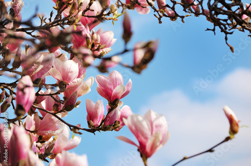 Photo  Flowering magnolia tree against a cloudy sky