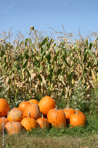 Valokuva  Group of Pumpkins in a Field of Corn