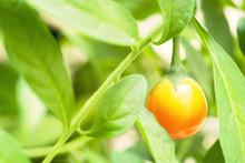 Decorative Tomato
