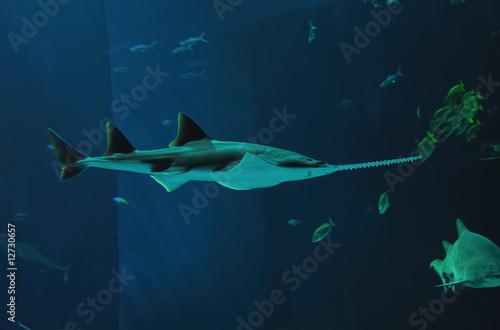 requin scie Wallpaper Mural