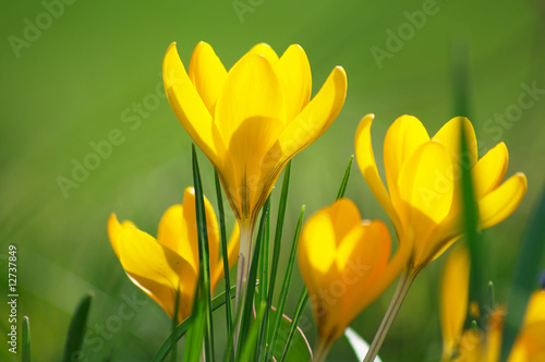 Canvas Prints Crocuses gelber krokus