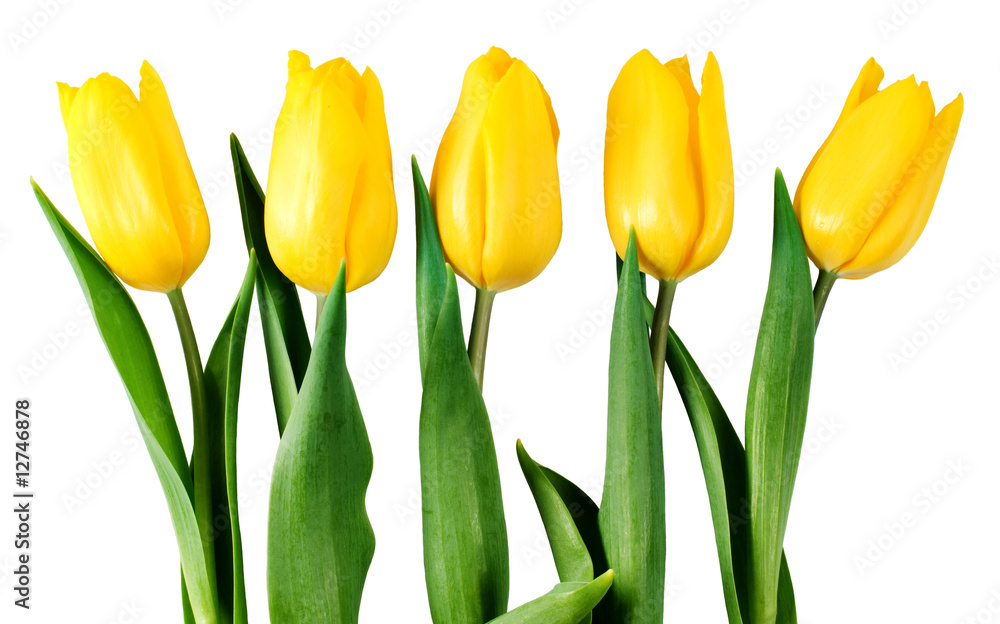 five yellow tulips isolated on white with clipping path