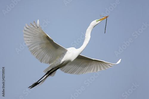 Great Egret (Ardea alba) Wallpaper Mural