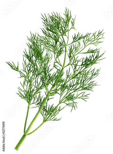 Canvas Print Dill branch