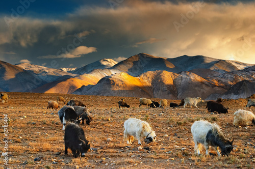 Grazing sheep and goats Fototapeta