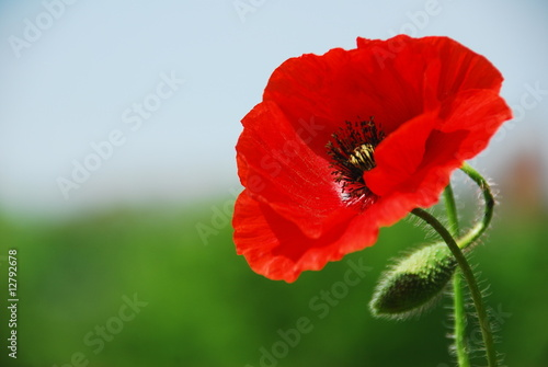 Foto op Canvas Poppy Single poppy in Normandy