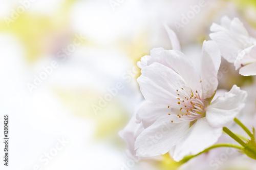 In de dag Kersen Kirschblüte