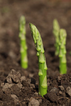 Green Asparagus Spears Emerging Through The Soil, Shalow DOF