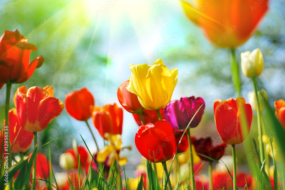 Leinwandbild Motiv - Monia : Tulips
