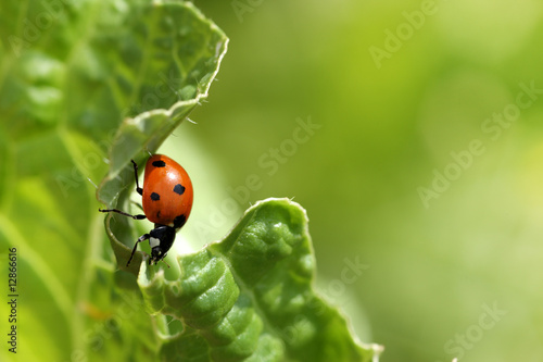Ladybug Fototapeta