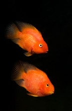 Two Blood Parrot Cichlids Swim...