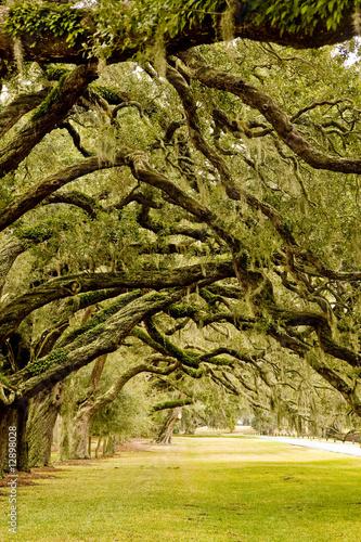 Photo Oak Limbs Over Grassy Lane