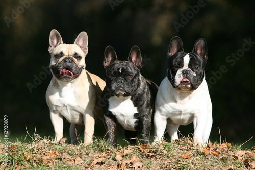 Deurstickers Franse bulldog trois bouledogues français debout de face