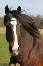 Shire Horse Profile