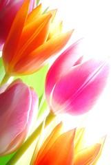 Panel Szklany Tulipany Spring tulips