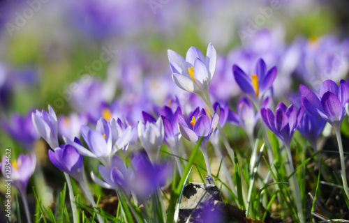 Printed kitchen splashbacks Crocuses Krokuswiese