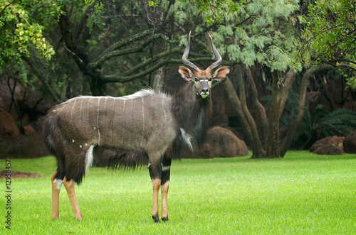 Door stickers Antelope Nyala Antilope (Bock)