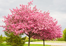 Two Flowering Redbud Trees