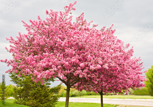Fotografie, Obraz  Two Flowering Redbud Trees