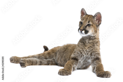 Poster Puma Puma cub - Puma concolor (3,5 months)