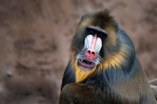 Colorful Mandrill