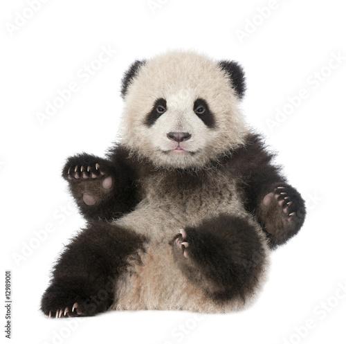 Stickers pour porte Panda Giant Panda (6 months old) - Ailuropoda melanoleuca