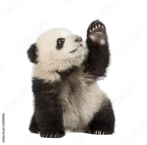Poster Panda Giant Panda (6 months) - Ailuropoda melanoleuca