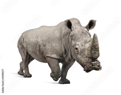 Spoed Foto op Canvas Neushoorn White Rhinoceros charging - Ceratotherium simum ( +/- 10 years)