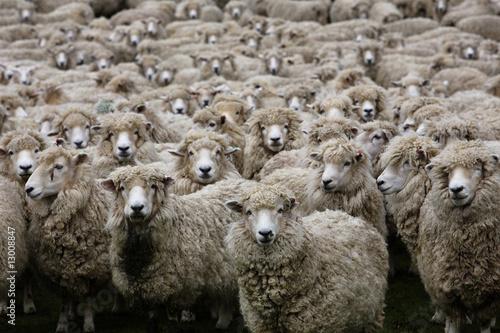 Deurstickers Schapen Schafherde in Neuseeland