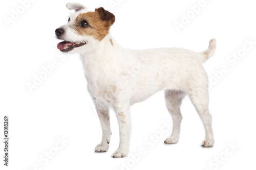 Fotografie, Obraz jack russell terrier standing