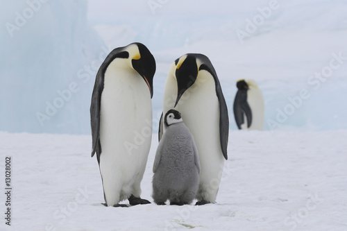 Poster Antarctique Emperor penguins