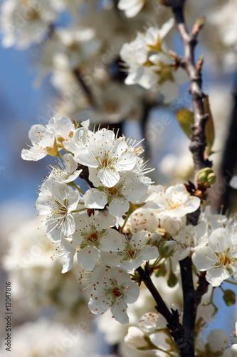 I fiori del pruno
