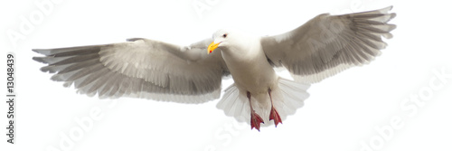 Panoramic image of a seagull in flight, isloated
