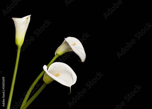 Fotomural Beautiful Calla Lilies