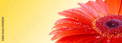 Poster Gerbera Red gerbera with water drops
