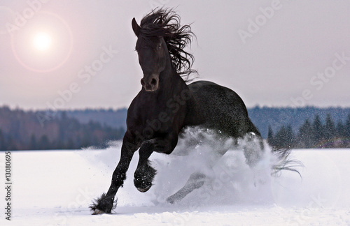 Frisian horse on snow Canvas Print