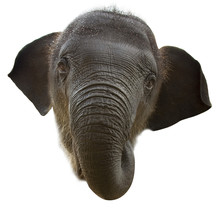 Baby Elephant Face
