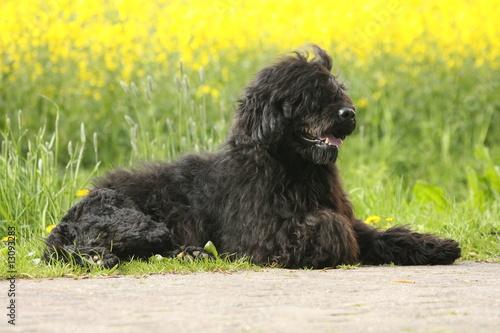 Fényképezés  Portugiesischer Wasserhund