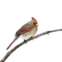 Female Cardinal Perched On A White Background