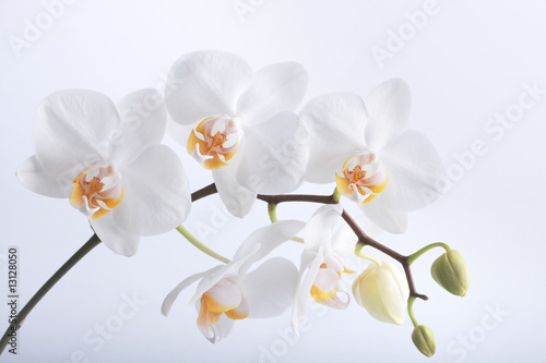 Poster Orchid Orchidee