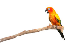 Sun Conure Parrot Screaming On...